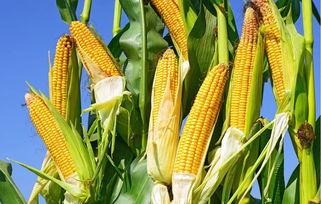粮食深度分析细分领域之一:玉米