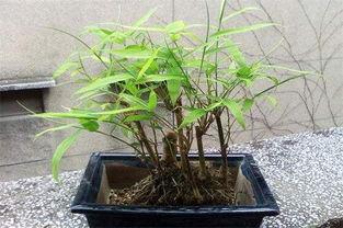 养竹子风水禁忌