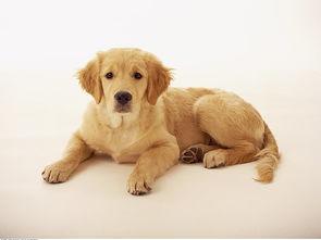金毛一年可以生多少小狗