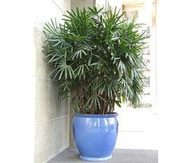 棕竹水培方法和注意事项
