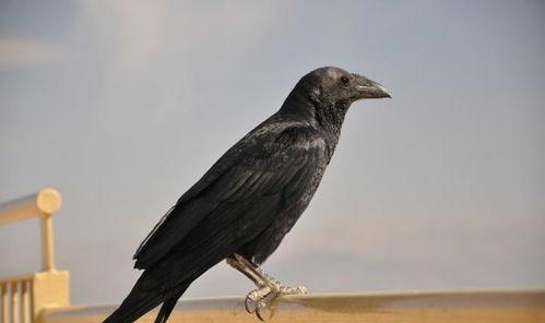 描写乌鸦的句子_描写乌鸦外貌的句子