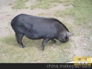 怎么养猪赚钱(养母猪的利润与成本)