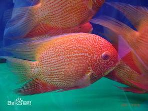 金菠萝鱼是风水鱼吗
