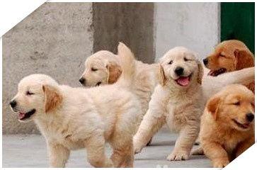 无锡金毛犬价格无锡哪里出售金毛幼犬无锡哪家犬舍的金毛幼犬便宜健康没病有合同