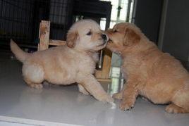 金毛幼犬第一次进家怎么训练
