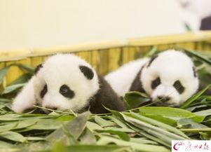 萌化广州再添大熊猫双胞胎,起咩名好