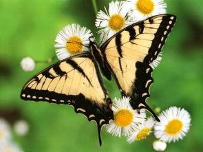 蝴蝶生长过程组图