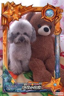 灰泰迪幼犬出售