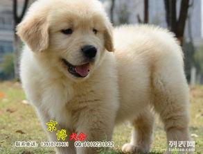 纯种金毛价格 金毛幼犬多少钱一样 金毛什么样的好