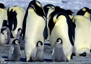 皇帝企鹅育儿袋