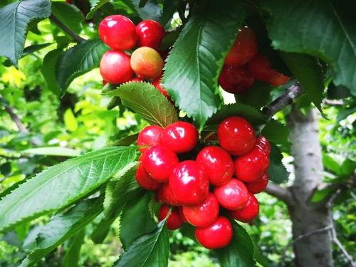 樱桃的生长环境及条件  种植樱桃需要什么条件