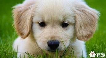 金毛狗狗的皮肤病要如何处理