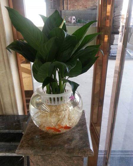 鱼缸里的水养花好吗