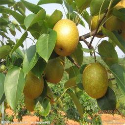 行情 乐陵市直径08公分玉露香梨树苗优质商家 质优价廉
