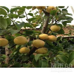 【库尔勒香梨梨苗厂商出售、4公分库尔勒香梨梨苗批发价格】- 黄页88网