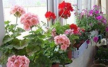 枯松针能养花吗