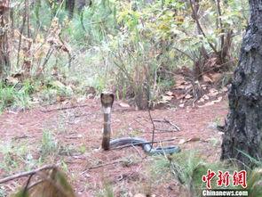 云南一居民误踩眼镜蛇尾巴险被咬 获警方救助