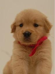标题 重庆哪里有卖金毛小狗 重庆哪里能买到金毛