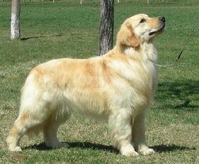 金毛寻回犬训练时必须建立处罚观念