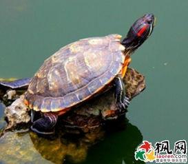 梦见乌龟的详细梦境解析