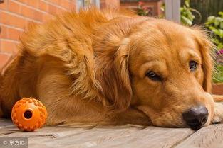 如果你家金毛犬突然有这4种表现,可能说明,它开始 恨 你了 金毛刚