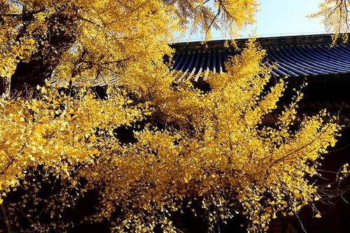 银杏树树属五行