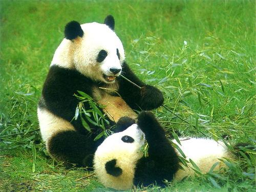 走亲戚遇大熊猫拜年,拜年作文500字六年级