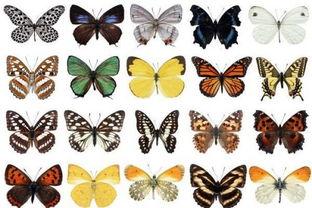 蝴蝶标本制作工具 制作方法 制作过程及详细图解