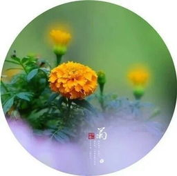 关于菊花的古诗句两句